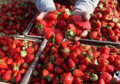 """سوق """"الفراولة"""" يَتَّسِع.. دولُ الخليج على القائمة لأول مَرة"""